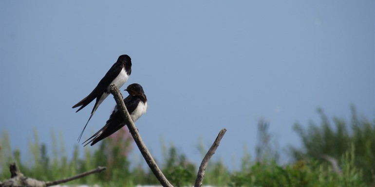 Seltene Vogelarten brüten im Marker Watt
